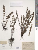 view Cheilanthes javensis (Willd.) T. Moore digital asset number 1