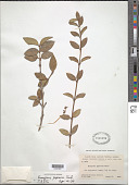 view Euonymus japonicus Thunb. digital asset number 1