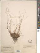 view Dichanthelium ensifolium (Baldwin ex Elliot) Gould var. ensifolium digital asset number 1