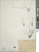 view Isolepis cernua (Vahl) Roem. & Schult. digital asset number 1