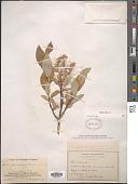 view Salix glauca L. digital asset number 1