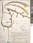 view Hechtia elliptica L.B. Sm. digital asset number 1