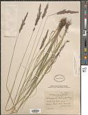 view Calamagrostis rubescens Buckley digital asset number 1
