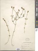view Polygala brevifolia Nutt. digital asset number 1