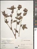 view Malachra rudis Benth. digital asset number 1