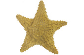 view Red Cushion Sea Star digital asset number 1