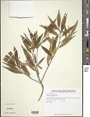 view Tetrazygia angustifolia (Sw.) DC. digital asset number 1