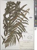 view Pseudocyclosorus esquirolii (Christ) Ching digital asset number 1