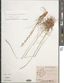 view Eragrostiella bifaria (Vahl) Bor digital asset number 1