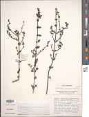 view Lindenbergia awashensis Hjertson digital asset number 1