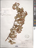 view Physocarpus opulifolius (L.) Maxim. digital asset number 1