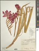 view Gladiolus cardinalis Curtis digital asset number 1
