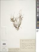 view Cyperus cuspidatus Kunth digital asset number 1