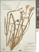 view Hesperantha coccinea (Backh. & Harv.) Goldblatt & J.C. Manning digital asset number 1