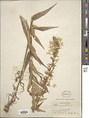 view Phlox maculata subsp. pyramidalis (Sm.) Wherry digital asset number 1