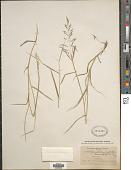view Sporobolus cryptandrus (Torr.) A. Gray digital asset number 1