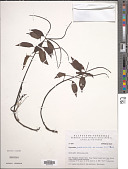 view Peperomia glabella (Sw.) A. Dietr. digital asset number 1