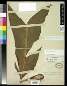 view Heliconia farinosa Raddi digital asset number 1