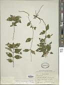 view Ruellia erythropus (Nees) Lindau digital asset number 1