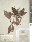 view Cybianthus surinamensis (Spreng.) G. Agostini digital asset number 1