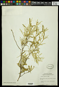 view Croton linearis Jacq. digital asset number 1