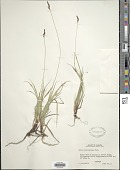view Carex concinnoides Mack. digital asset number 1