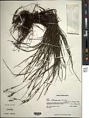 view Scleria lithosperma (L.) Sw. digital asset number 1