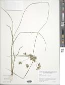 view Cyperus polystachyos Rottb. var. polystachyos digital asset number 1