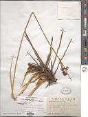 view Juncus arcticus var. andicola (Hook.) Balslev digital asset number 1