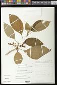 view Glossoloma tetragonum Hanst. digital asset number 1