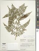 view Polystichum platyphyllum (Willd.) C. Presl digital asset number 1