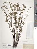 view Asplenium monanthes L. digital asset number 1