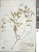 view Strophostyles umbellata (Muhl. ex Willd.) Britton digital asset number 1