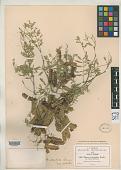 view Mimosa stipitata B.L. Rob. digital asset number 1