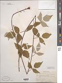 view Rubus occidentalis L. digital asset number 1