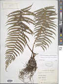 view Amauropelta cheilanthoides (Kunze) Á. Löve & D. Löve digital asset number 1