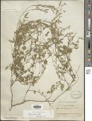 view Zornia curvata Mohlenborck digital asset number 1