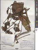 view Phoradendron anceps (Spreng.) M. Gómez digital asset number 1