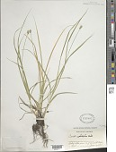 view Carex cephalophora Muhl. ex Willd. digital asset number 1