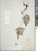 view Anemia ferruginea Kunth var. ferruginea digital asset number 1