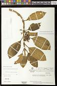 view Glossoloma ichthyoderma (Hanst.) J.L. Clark digital asset number 1
