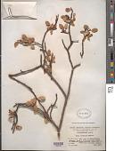 view Salix oritrepha C.K. Schneid. digital asset number 1