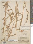 view Urochloa platyphylla (Munro ex C. Wright) R.D. Webster digital asset number 1