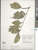 view Palicourea deflexa (DC.) Borhidi digital asset number 1