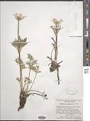 view Pulsatilla occidentalis (S. Watson) Freyn digital asset number 1
