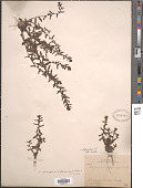 view Veronica peregrina subsp. xalapensis digital asset number 1