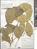 view Xanthophyllum sp. digital asset number 1