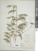 view Selaginella longissima Baker digital asset number 1