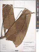 view Anthurium vallense Croat digital asset number 1