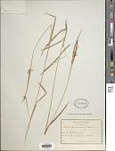 view Carex michauxiana subsp. asiatica Hultén digital asset number 1
